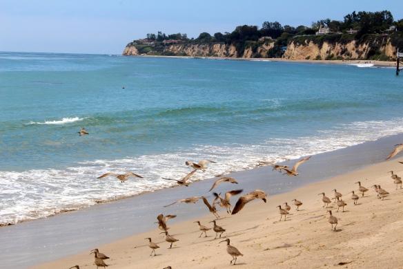 Birds taking flight on Paradise Cove beach